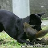 松鼠妈妈把生死置之渡外,勇斗黑狗救出被擒小松鼠