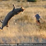 凶猛:猫是这样捕捉猎物的